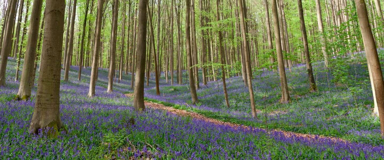 'Blue Forest' Hallerbos: sprookjesachtig mooi!