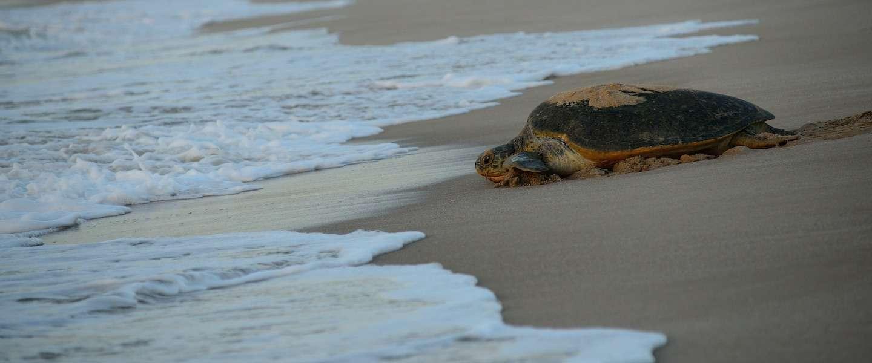 Dit strand in Oman is de perfecte plek om zeeschildpadden te zien!