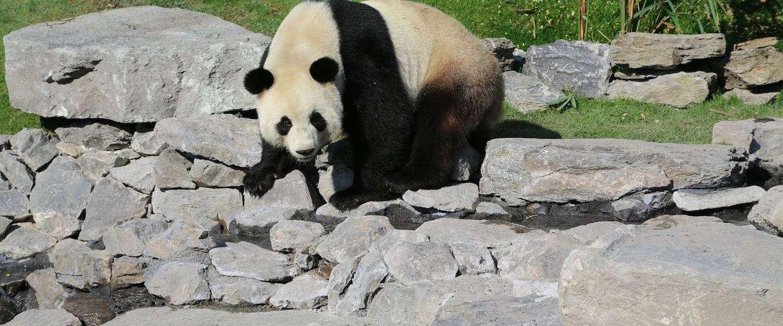 Tip voor een dagje weg: Reuzenpanda's spotten in het Belgische Pairi Daiza