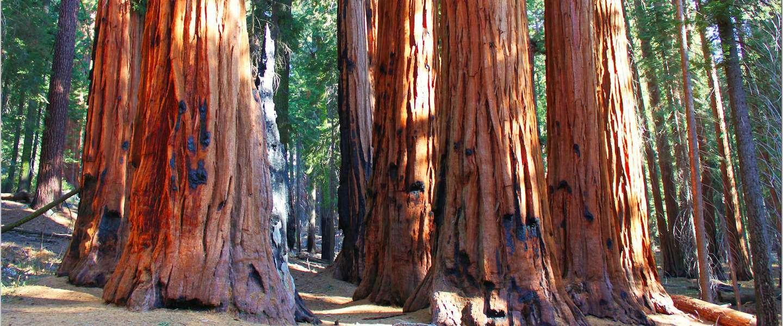 Grootste boom ter wereld in Sequoia National Park, Californië
