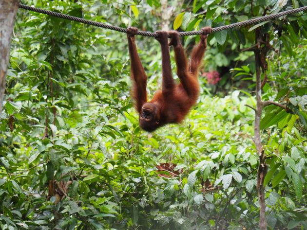 2. sepilok orang oetan rehabilitatiecentrum