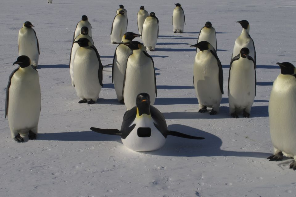 Pinguïns-undercover-spycam
