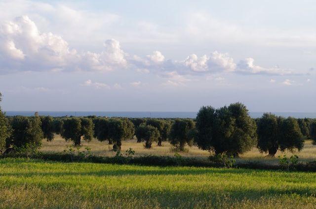 Olijfgaarden