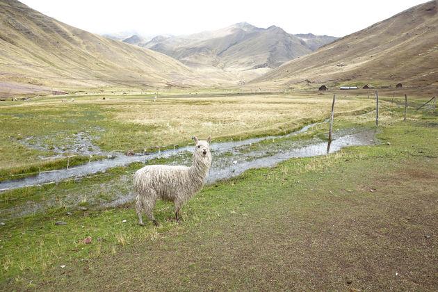 alpaca's_rainbow_mountain_peru