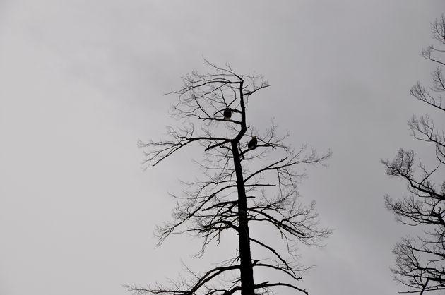 american-eagles