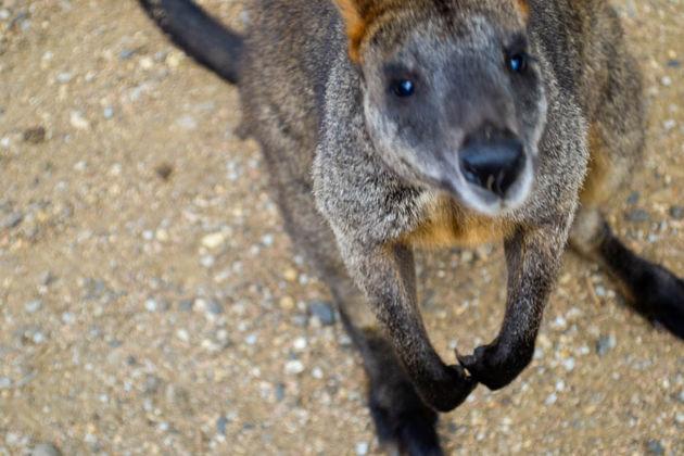 australische_dieren