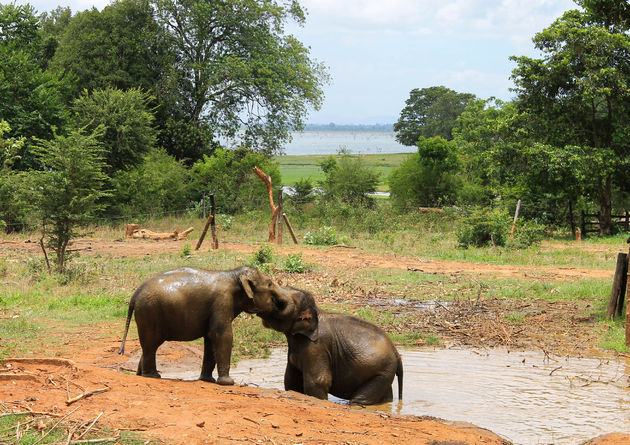 baby-olifanten