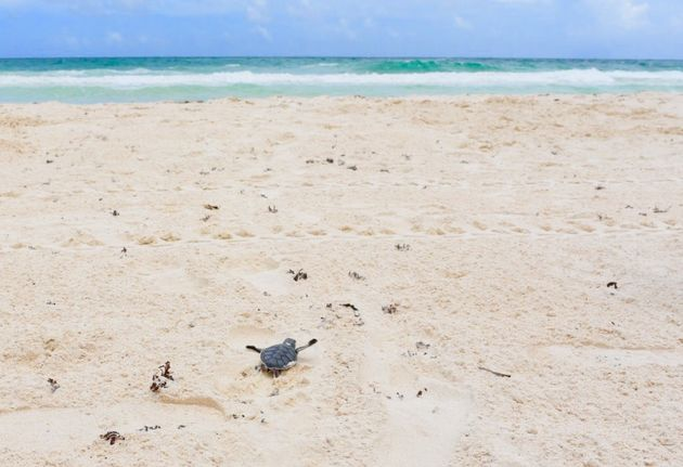 baby-zeeschildpad