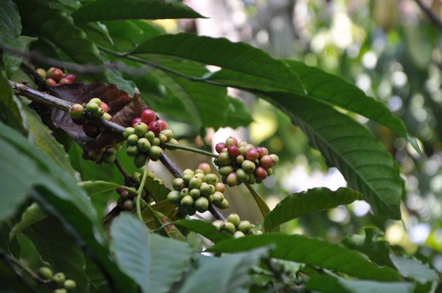 bessen-kopi-luwak