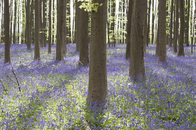 blauwe-hyacinten-hallerbos