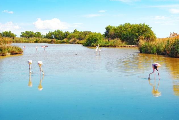 camargue-flamingo's