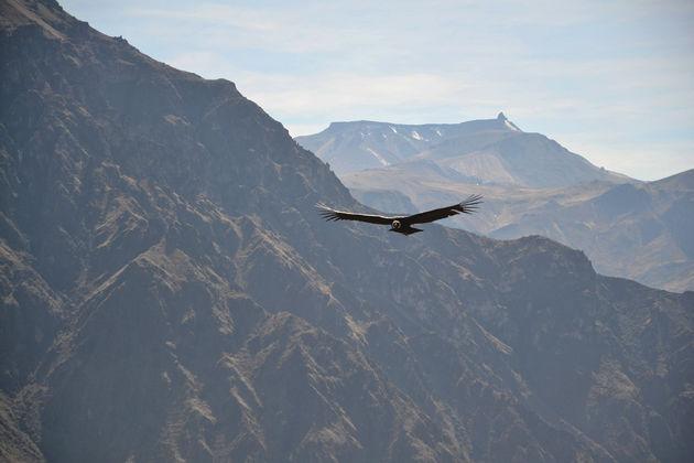Colca-Canyon-condors