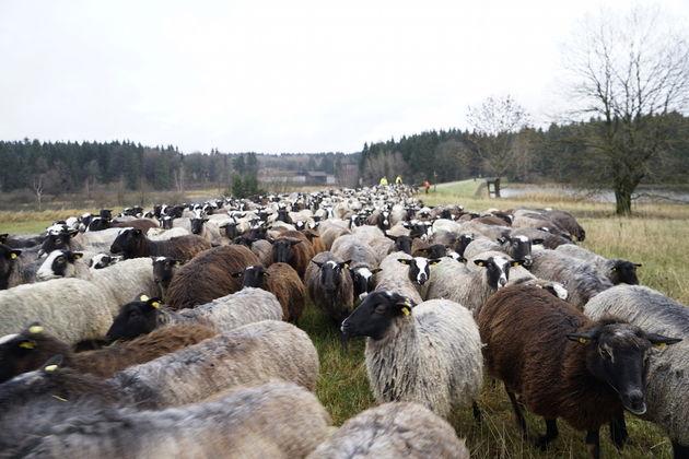 Oberharzer_Wasserwirtschaft_schapen