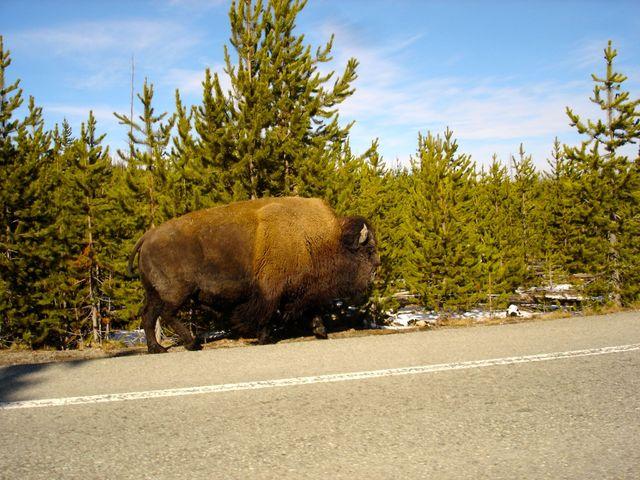 yellowstone_national_park_bizon