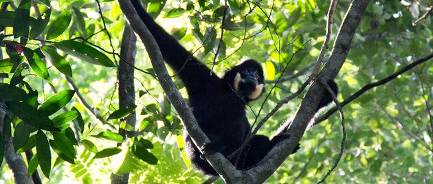 Gibbon_laos