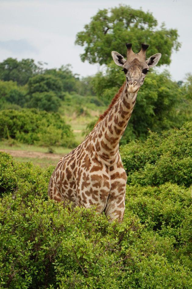 giraffe-mukumi-safari-2