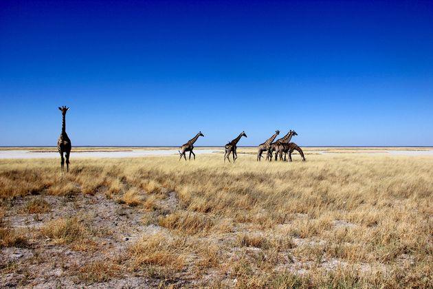 giraffes-afrika