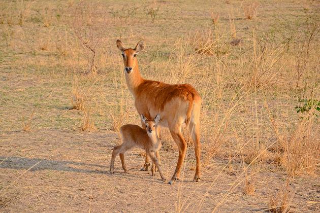 Gorongosa-NP-impala