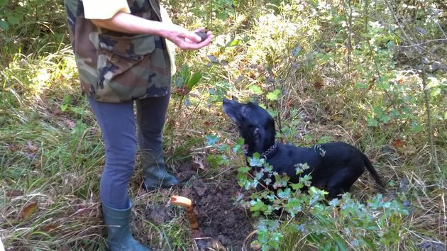 istrie-truffels-zoeken-hond