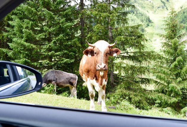 koeien-kaunergrat-natuurpark