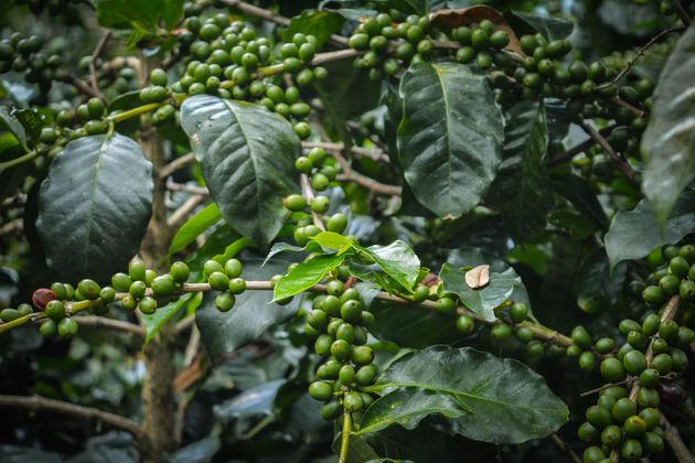Koffieplantage-honduras-1