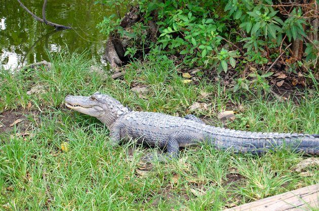 krokodil_everglades_florida