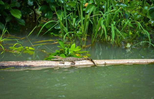 krokodil-gamboa-rainforest