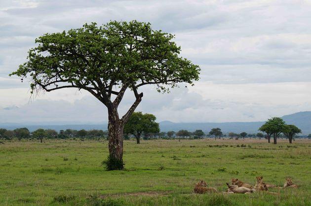 leeuwinnen-mikumi-tanzania