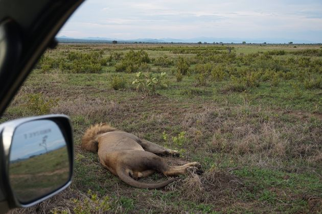 mukumi-safari-leeuw
