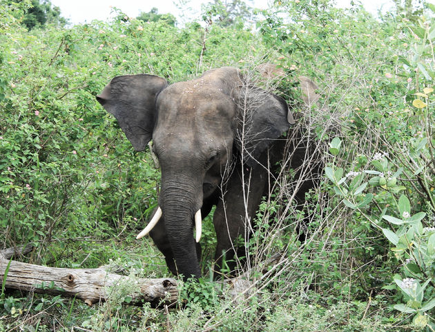 olifanten-Uda-Walawe-National-Park
