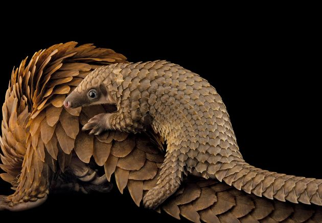 pangolin.adapt.1900.1