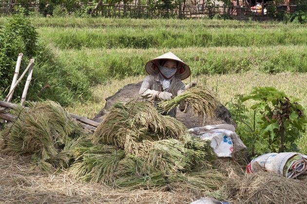 rijst-vietnam