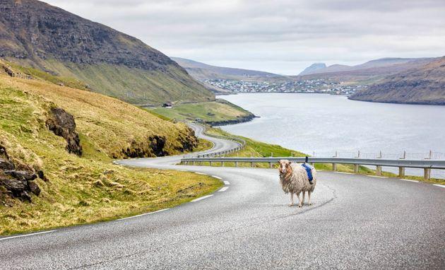 sheep-view