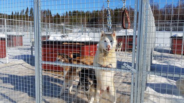 tocht-hondenslede-zweeds-lapland