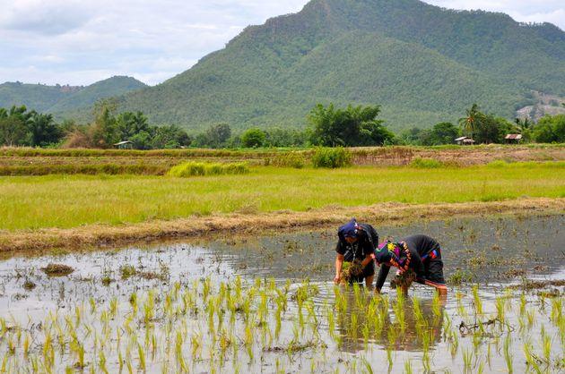 traditioneel-rijst-planten