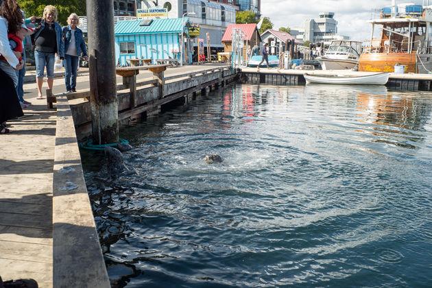 Victoria_vancouver_island_zeehonden