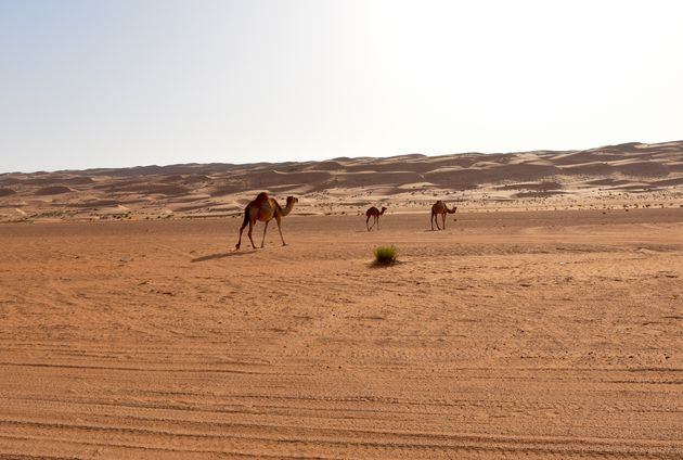 wahiba-sands-dromedarissen