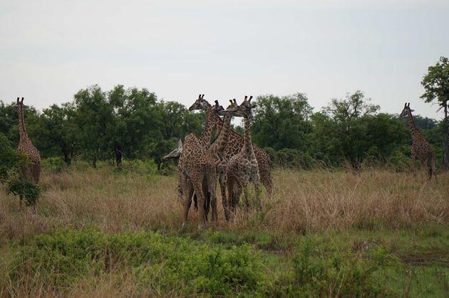 wilde-giraffes-safari