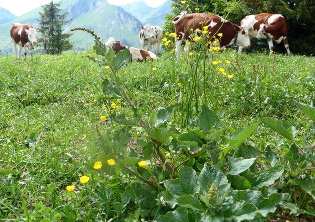 Wilde-Spinazie-bergen
