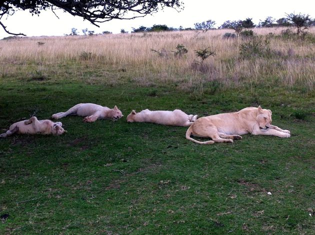 witte-leeuwen
