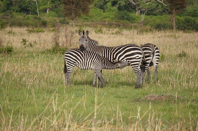 zebra's-mukumi-safari