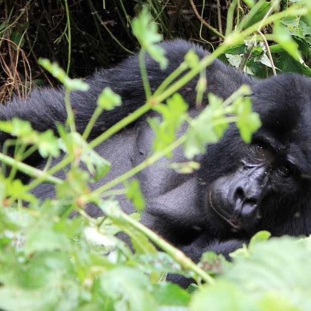 Oog in oog met berggorilla's in Oeganda