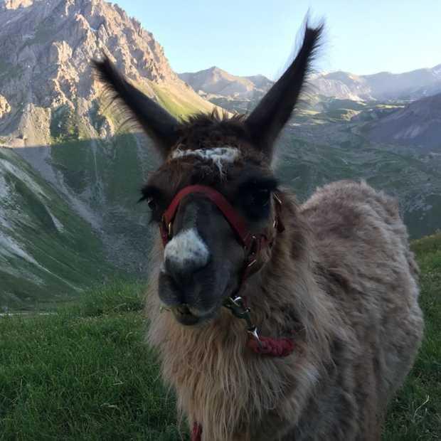 Een nachtelijke wandeling met lama's in de Franse Alpen