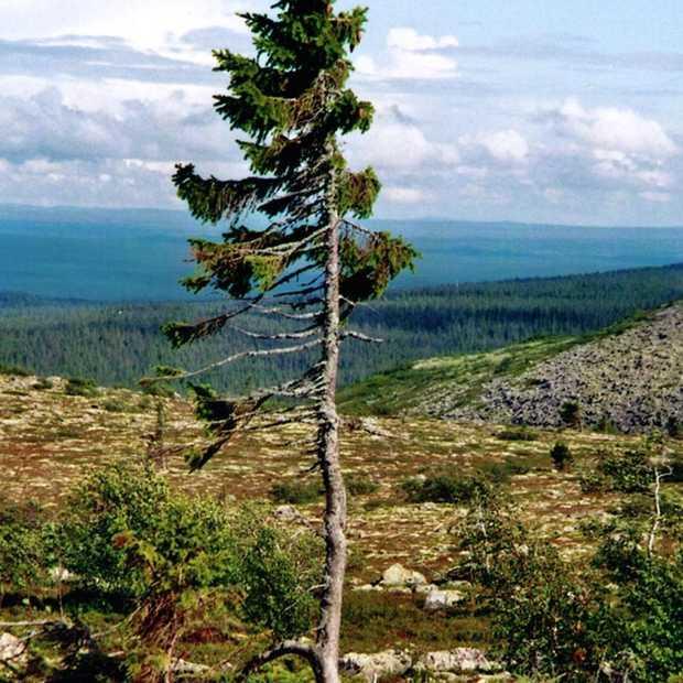De oudste boom ter wereld staat in Zweden en is 9.500 jaar oud!