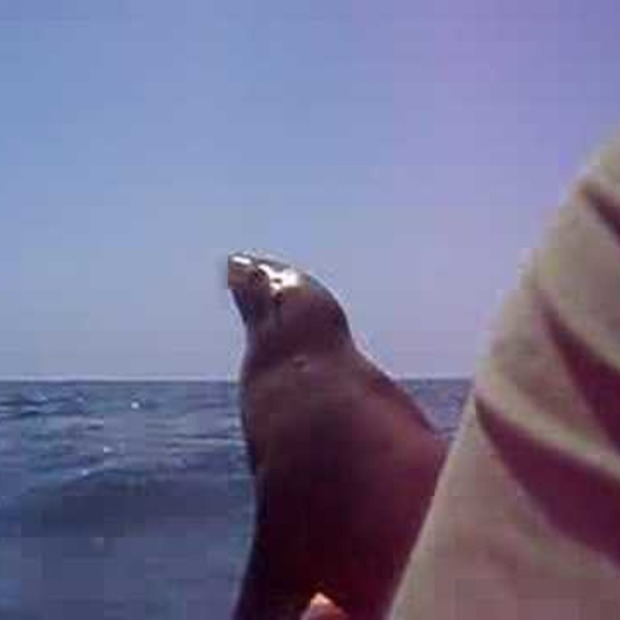 Video: Zeeleeuw springt op kajak
