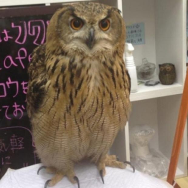 Nu ook een uilencafé in Japan