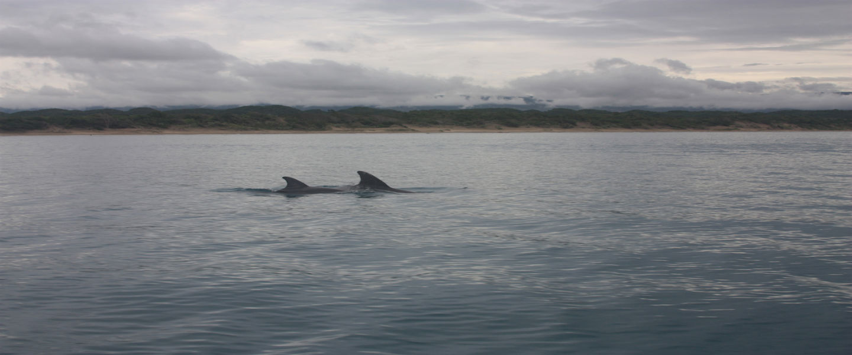 Wilde dolfijnen spotten in Lovina Bali