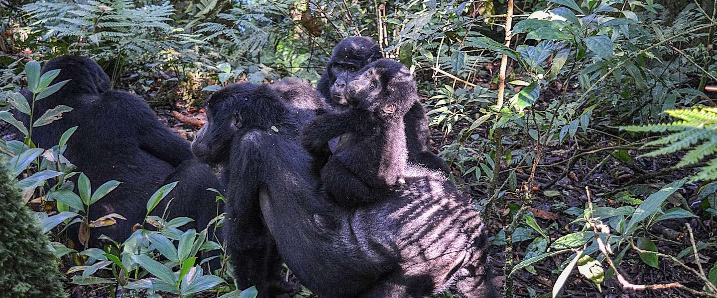 Bucket list-materiaal: op gorilla-safari in Oeganda