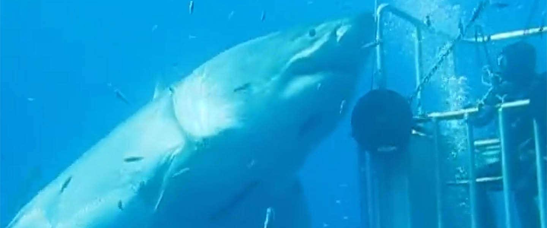 Is dit de grootste haai ter wereld?
