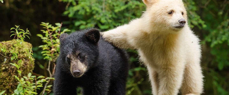 Wild Canada: een uniek inkijkje in het Great Bear Rainforest
